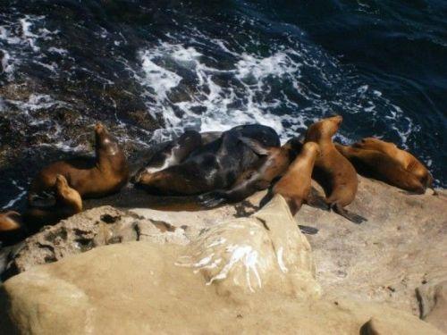 Seals-La-Jolla-Beach-San-Diego-CA